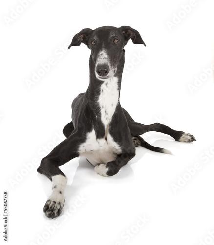 Tablou Canvas greyhound