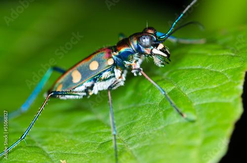 Papiers peints Macro photographie Macro of tiger beetle on green leaf at night