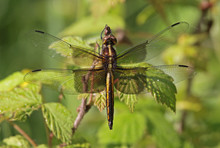 Stationary Female Widow Skimmer
