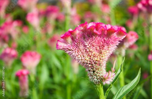 Valokuvatapetti AMARANTHACEAE,Wool flower ,cockscomb in garden