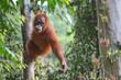 Młody Orangutan