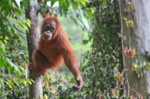 Obraz Młody Orangutan - fototapety do salonu