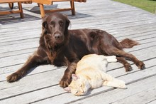 Flat Coated Retriever Dog Lying With Ginger Cat