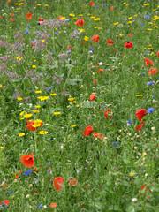 FototapetaSommerliche Blumenwiese