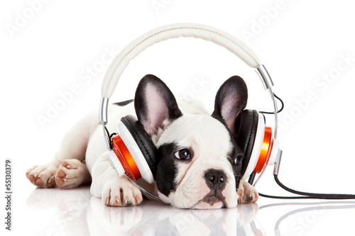 Poster Bouledogue français dog listening to music with headphones isolated on white backgro