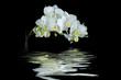 Weiße Orchidee mit Spiegelung auf schwarzem Hintergrund