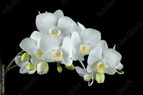 Poster Orchid Weiße Orchidee auf schwarzem Hintergrund