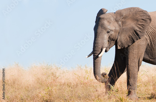 Staande foto Zuid Afrika Elephant feeding with space for text