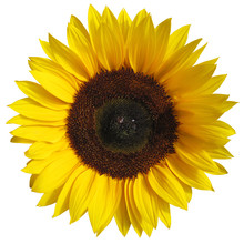 The Sunflower Isolated On White Background With A Clipping Path