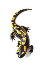 Fire Salamander  (Salamandra S...