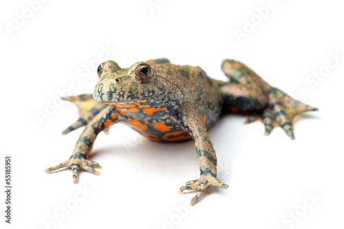 European Fire-bellied Toad (Bombina bombina) on white - Buy