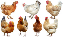 Set Of  Chicken Isolated On Wh...