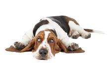 Basset Hound Dog Lying On A Wh...