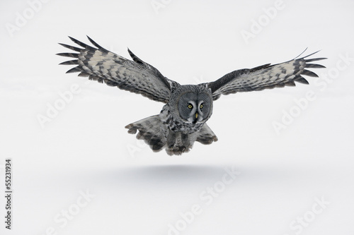 Fotoposter Uil Great-grey owl, Strix nebulosa