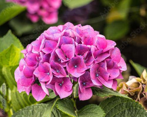 Deurstickers Hydrangea Pink and blue flowering Hydrangea plant