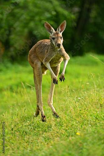 Foto op Plexiglas Kangoeroe Kangaroo