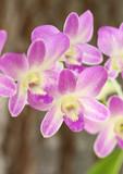 Purpurowa orchidea
