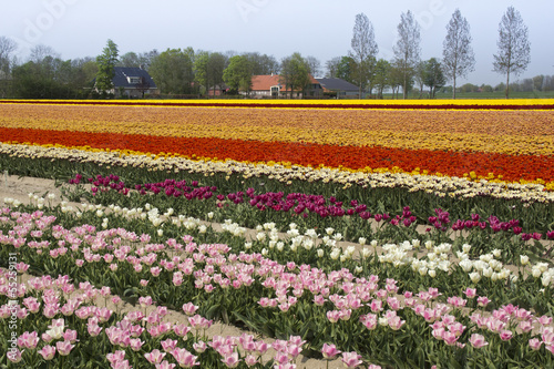 Wall Murals Magenta Colorful fields with tulips in the Netherlands