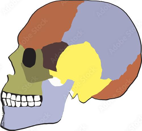 Fotografia, Obraz  scheletro laterale