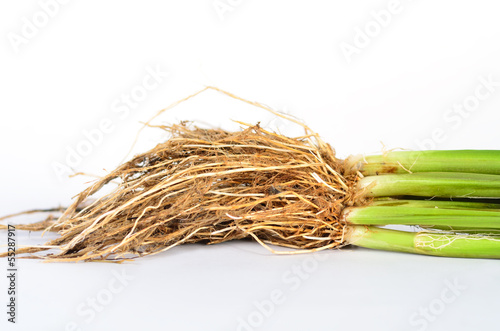 Root anatomy of Monocotyledon(Jasmine Rice) plant – kaufen Sie ...