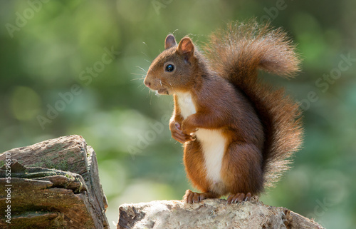 Fototapeta Red Squirrel in the forest