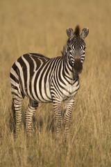 Fototapeta Zebry Zebra standing in dry grass