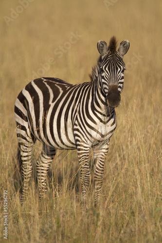 Zebra standing in dry grass - 55296792