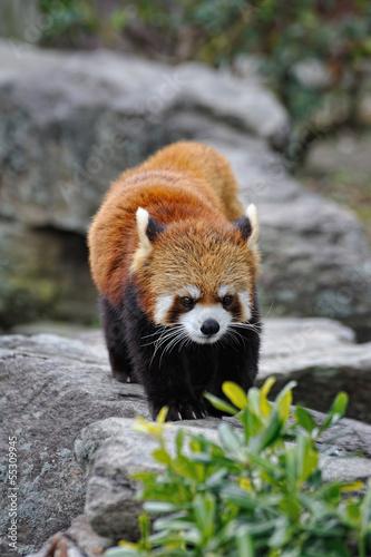 In de dag Panda レッサーパンダ