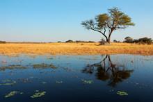 African Acacia Tree And Reflection, Wkando River