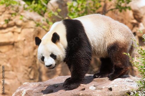 Fotografie, Obraz  Panda géant