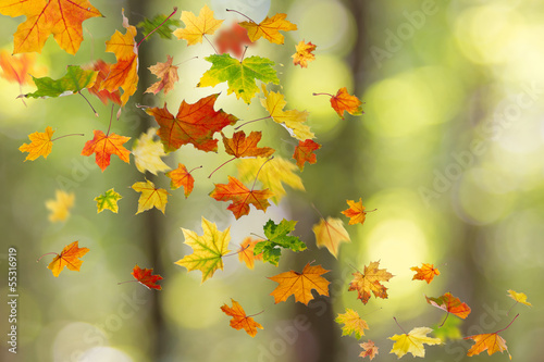 Poster Automne Maple colored autumn falling leaves in the forest.