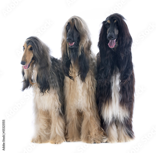 Photo afghan dogs