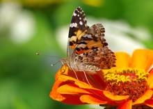 Painted Lady Butterfly (Wanessa Cardui) On A Flower