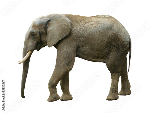 Foto auf Leinwand Elefant Elephant isolated