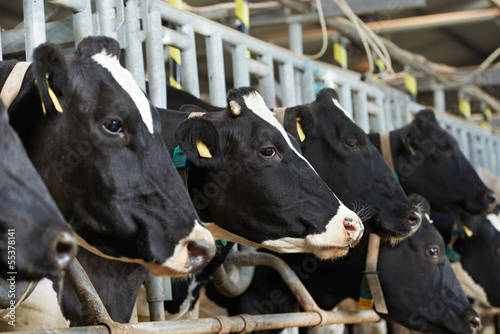 Valokuva  Cows herd  during milking at farm
