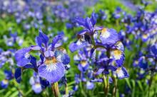 Closeup Of Flowering Siberian ...