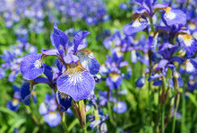 Closeup Of Flowering Siberian Iris Plants