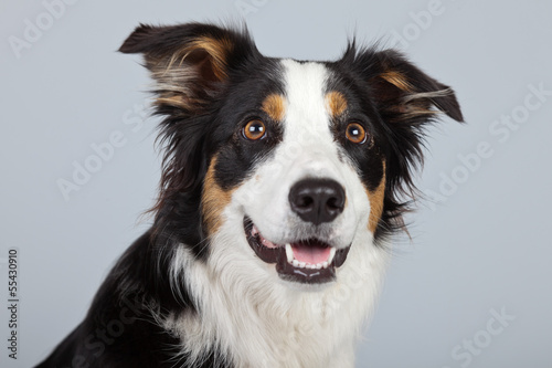 Vászonkép Border collie dog black brown and white isolated against grey ba
