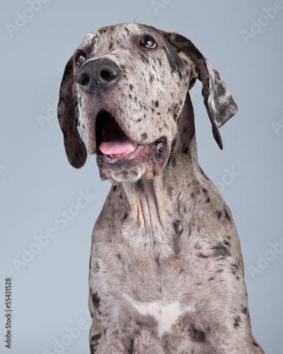 Fototapeta Puppy great dane dog grey with black spots isolated against grey obraz