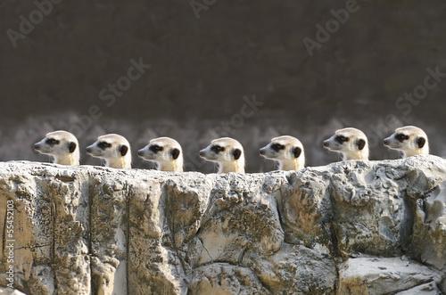 Fotografie, Tablou  meercats