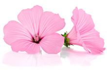 Pink Malva. Mallows