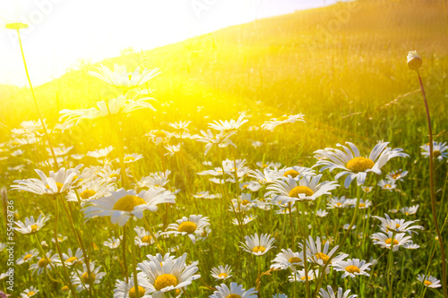 Poster Jaune beautiful field with camomile at the sunset