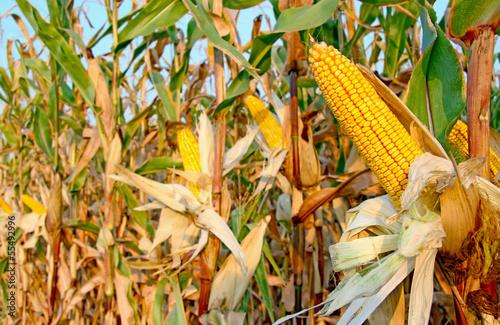 Ripe Corn Field Wallpaper Mural