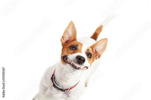 Valokuva  jack Russell Terrier