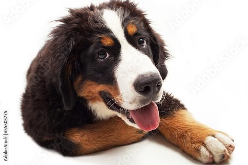 Poster de jardin Vache Cucciolo di cane di bovaro del bernese