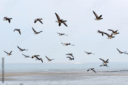 Photo Stands Bird Swarm Brent gooses above the wadden sea