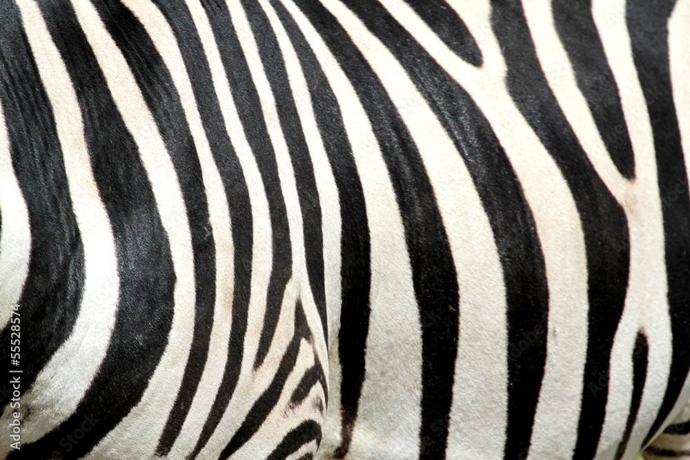 Fototapeta Black and white striped zebra