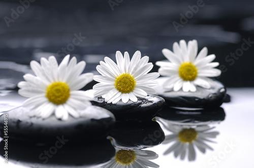 Obraz Białe stokrotki na czarnych kamieniach - fototapety do salonu