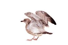 European Herring Gull, (Larus Argentatus), 4 Month