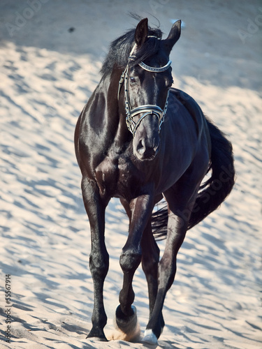 Walking beautiful black stallion in the desert